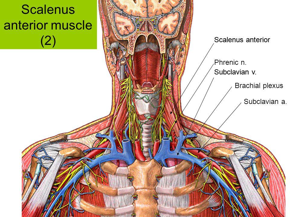 Scalenus anterior Subclavian v. Scalenus anterior Subclavian v. Brachial plexus Phrenic n. Subclavian a. Scalenus anterior muscle (2)