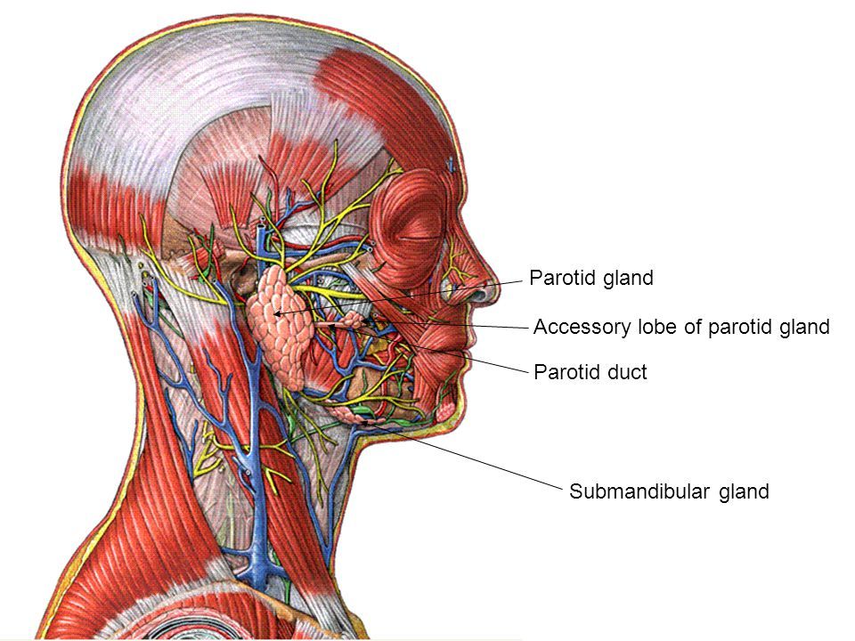 Parotid gland Parotid duct Accessory lobe of parotid gland Submandibular gland