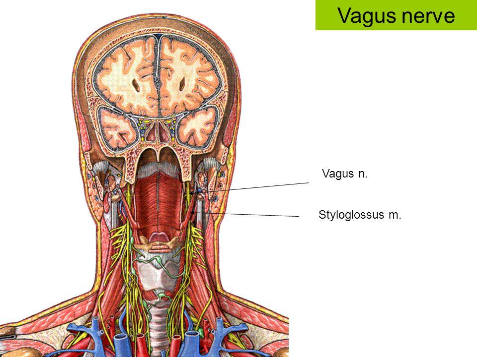 Vagus n. Styloglossus m. Vagus nerve