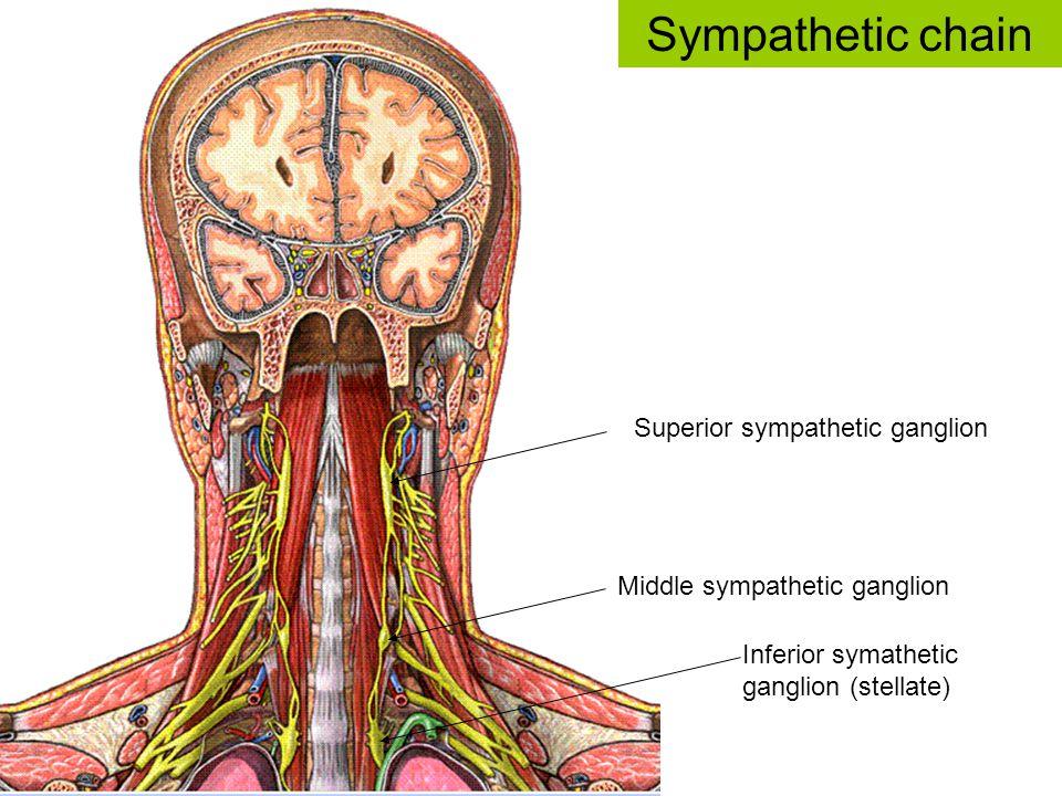Superior sympathetic ganglion Middle sympathetic ganglion Inferior symathetic ganglion (stellate) Sympathetic chain