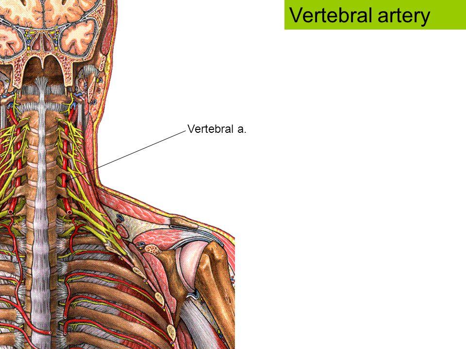 Vertebral a. Vertebral artery