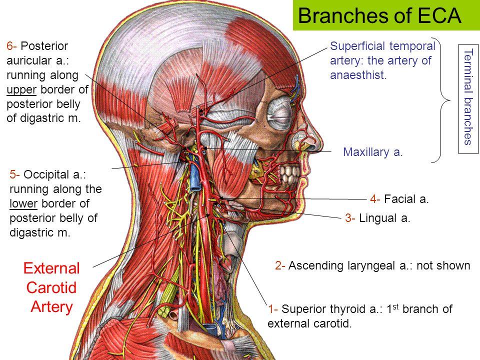 4- Facial a. 1- Superior thyroid a.: 1 st branch of external carotid. 6- Posterior auricular a.: running along upper border of posterior belly of diga