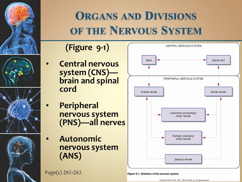 b.Axons leave the spinal cord in the anterior roots of spinal nerves, extend to sympathetic or collateral ganglia, and synapse with several postganglionic neurons whose axons extend to spinal or autonomic nerves to terminate in visceral effectors c.A chain of sympathetic ganglia is in front of and at each side of the spinal column A UTONOMIC N ERVOUS S YSTEM Page(s) 295 C.Sympathetic nervous system 1.