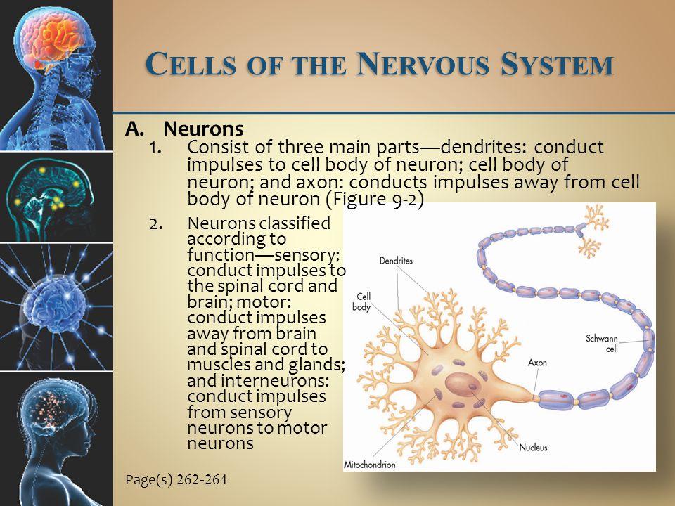 P ERIPHERAL N ERVOUS S YSTEM B.Spinal nerves 1.