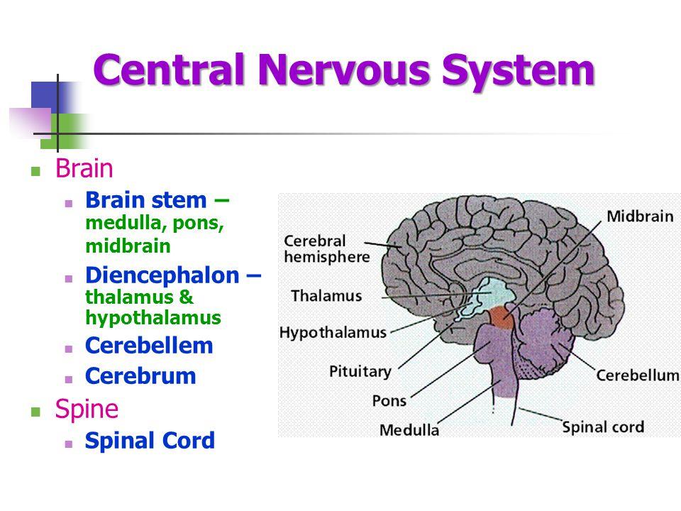 Central Nervous System Brain Brain stem – medulla, pons, midbrain Diencephalon – thalamus & hypothalamus Cerebellem Cerebrum Spine Spinal Cord