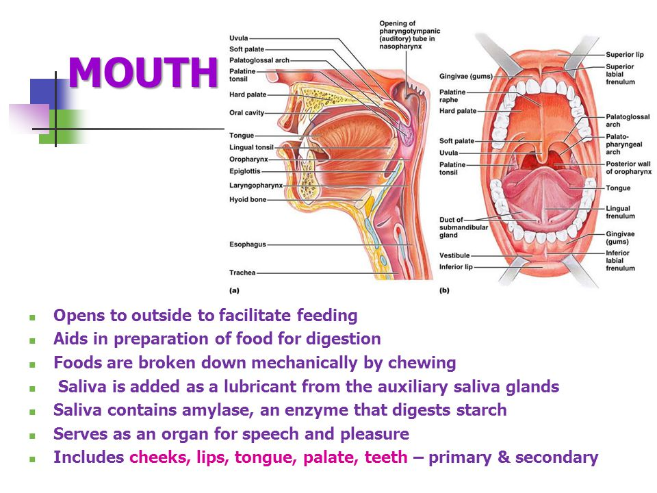 MOUTH Opens to outside to facilitate feeding Aids in preparation of food for digestion Foods are broken down mechanically by chewing Saliva is added as a lubricant from the auxiliary saliva glands Saliva contains amylase, an enzyme that digests starch Serves as an organ for speech and pleasure Includes cheeks, lips, tongue, palate, teeth – primary & secondary