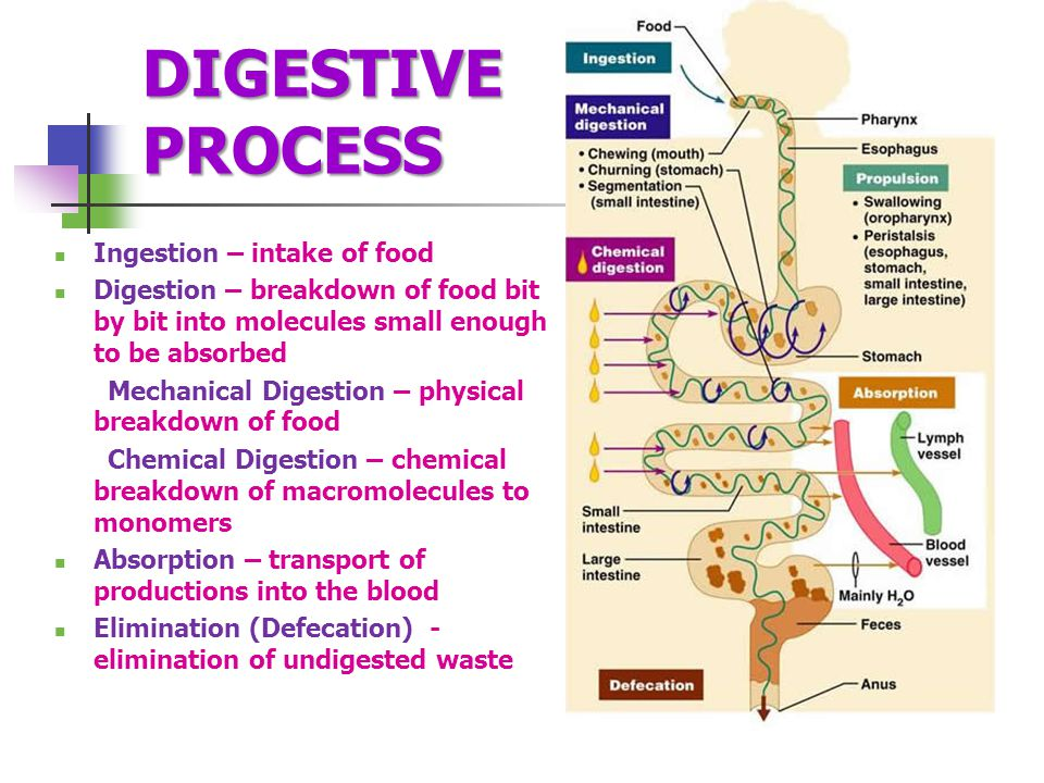 DIGESTIVE PROCESS Ingestion – intake of food Digestion – breakdown of food bit by bit into molecules small enough to be absorbed Mechanical Digestion – physical breakdown of food Chemical Digestion – chemical breakdown of macromolecules to monomers Absorption – transport of productions into the blood Elimination (Defecation) - elimination of undigested waste