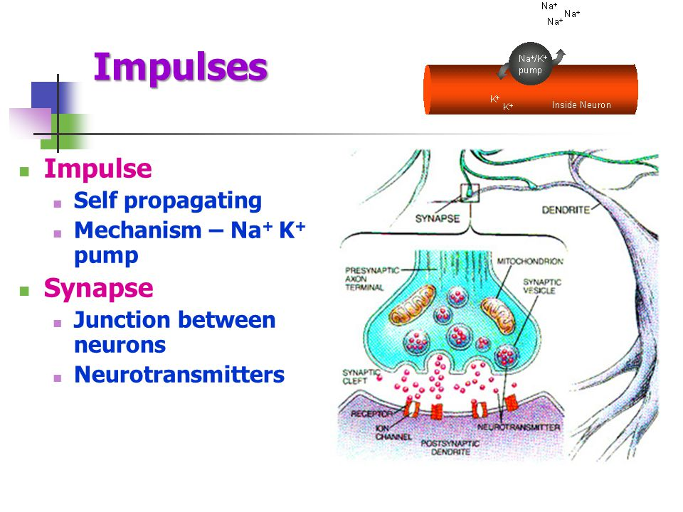 Synapse Junction between neurons The neurons do not actually tough at the synapse Neurotransmitters used to restart impulse in dendrite of 2 nd neuron