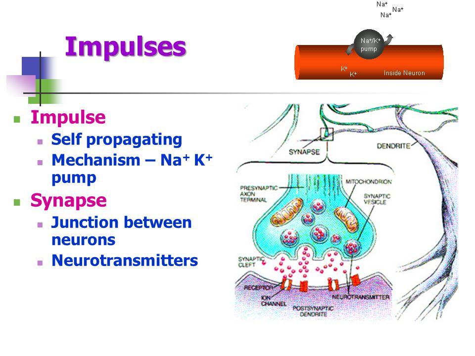 Impulses Impulse Self propagating Mechanism – Na + K + pump Synapse Junction between neurons Neurotransmitters