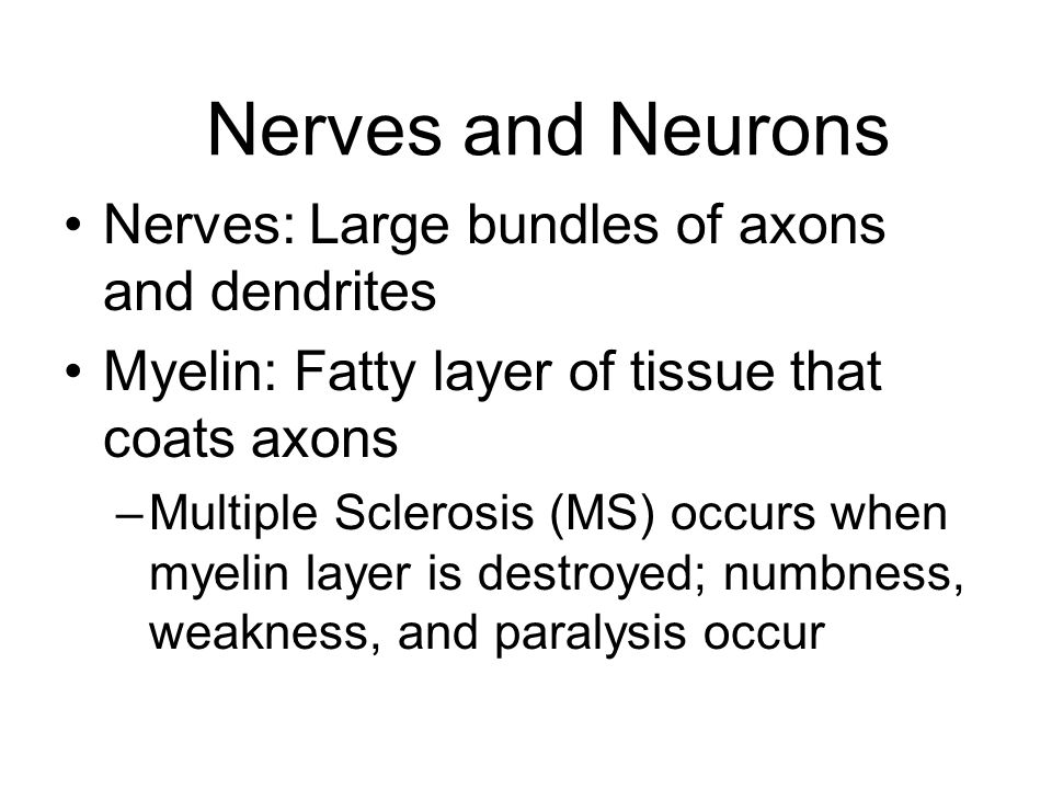Nerves and Neurons Nerves: Large bundles of axons and dendrites Myelin: Fatty layer of tissue that coats axons –Multiple Sclerosis (MS) occurs when my