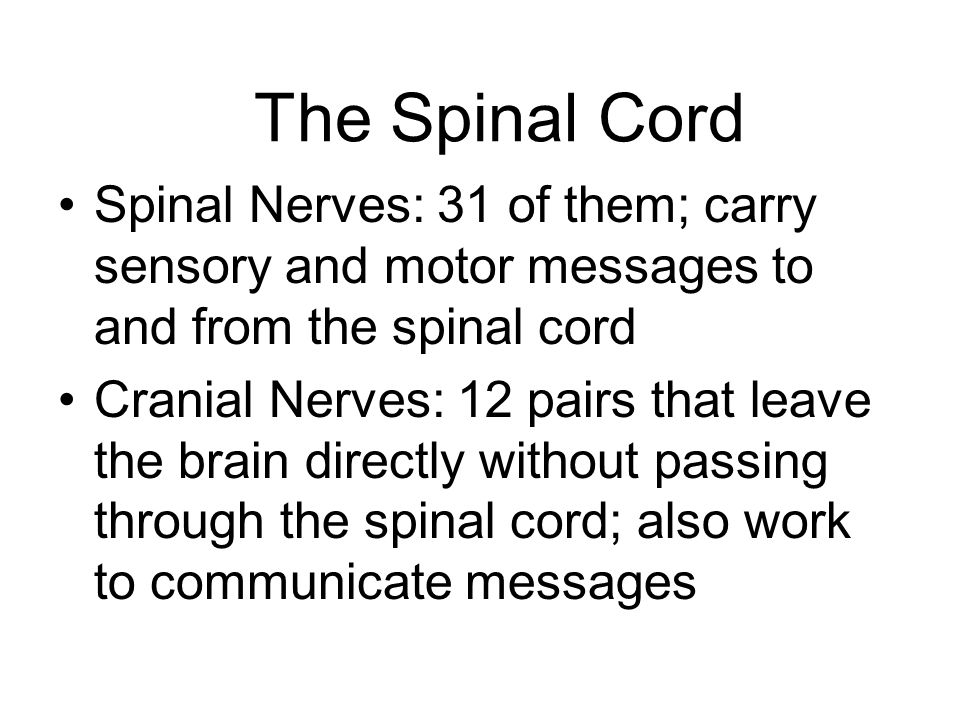 The Spinal Cord and Behavior Reflex Arc: Simplest behavior in which a stimulus provokes an automatic response Sensory Neuron: Nerve cell that carries messages from the senses toward the CNS Motor Neuron: Cell that carries commands from the CNS to the muscles and glands Effector Cells: Cells capable of producing a response