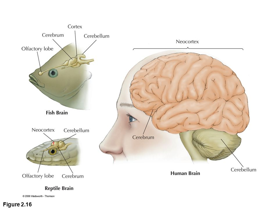 Cerebral Cortex Outer layer of the cerebrum Cerebrum: Two large hemispheres that cover upper part of the brain Corticalization: Increase in size and wrinkling of the cortex Cerebral Hemispheres: Right and left halves of the cerebrum Spatial Neglect: Right hemisphere stroke victims pay no attention to the left side of visual space
