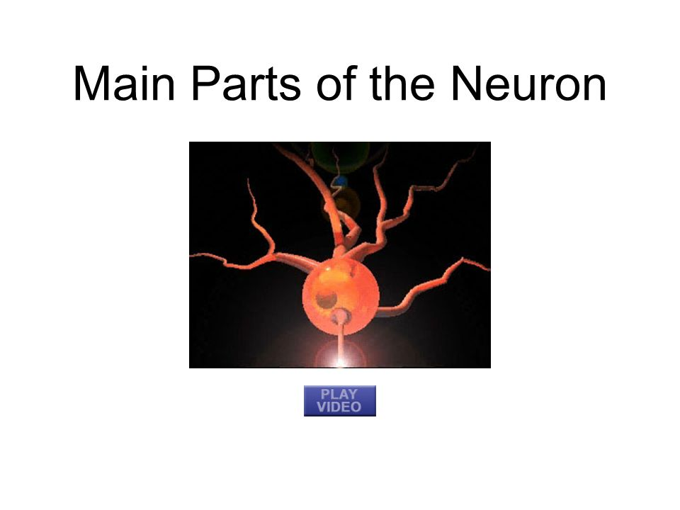 Main Parts of the Neuron