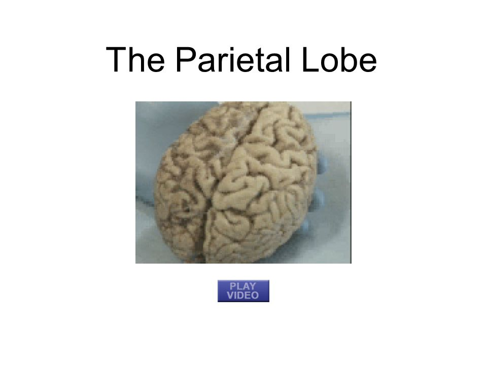 The Last Two Lobes Temporal Lobe: Each side of the brain; auditory and language centers Frontal Lobe: Movement, sense of smell, higher mental functions –Contains motor cortex; controls motor movement