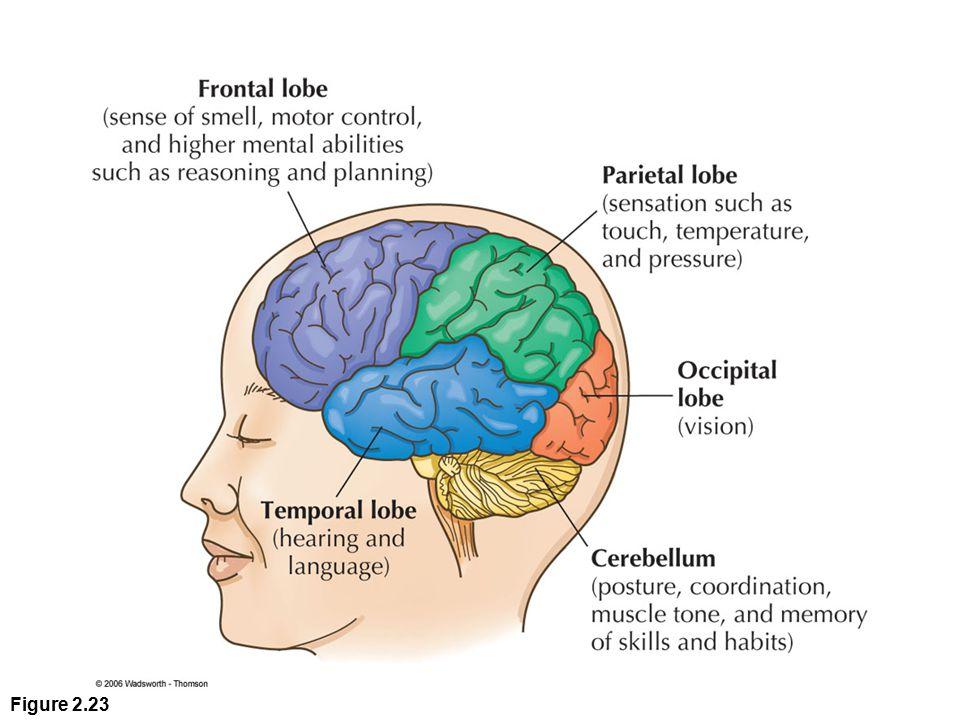 The Temporal Lobe
