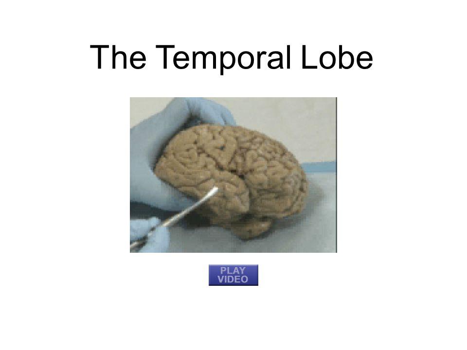 The Frontal Lobe