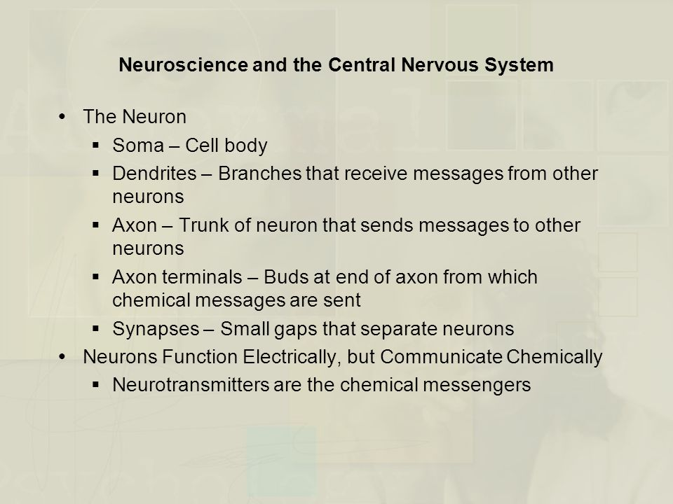 Neuroscience and the Central Nervous System  The Neuron  Soma – Cell body  Dendrites – Branches that receive messages from other neurons  Axon – T
