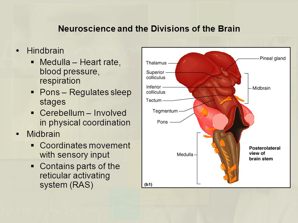 Neuroscience and the Divisions of the Brain  Hindbrain  Medulla – Heart rate, blood pressure, respiration  Pons – Regulates sleep stages  Cerebell