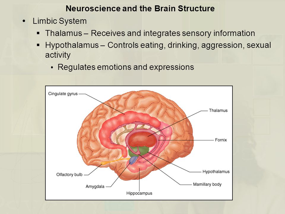 Neuroscience and the Brain Structure  Limbic System  Thalamus – Receives and integrates sensory information  Hypothalamus – Controls eating, drinki