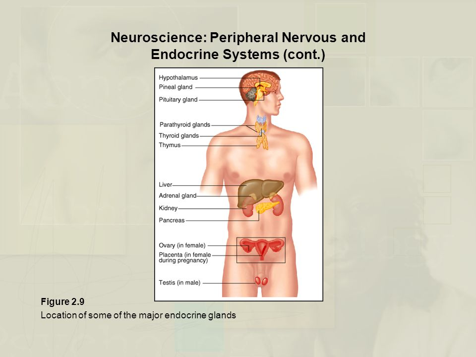 Neuroscience: Peripheral Nervous and Endocrine Systems (cont.) Figure 2.9 Location of some of the major endocrine glands