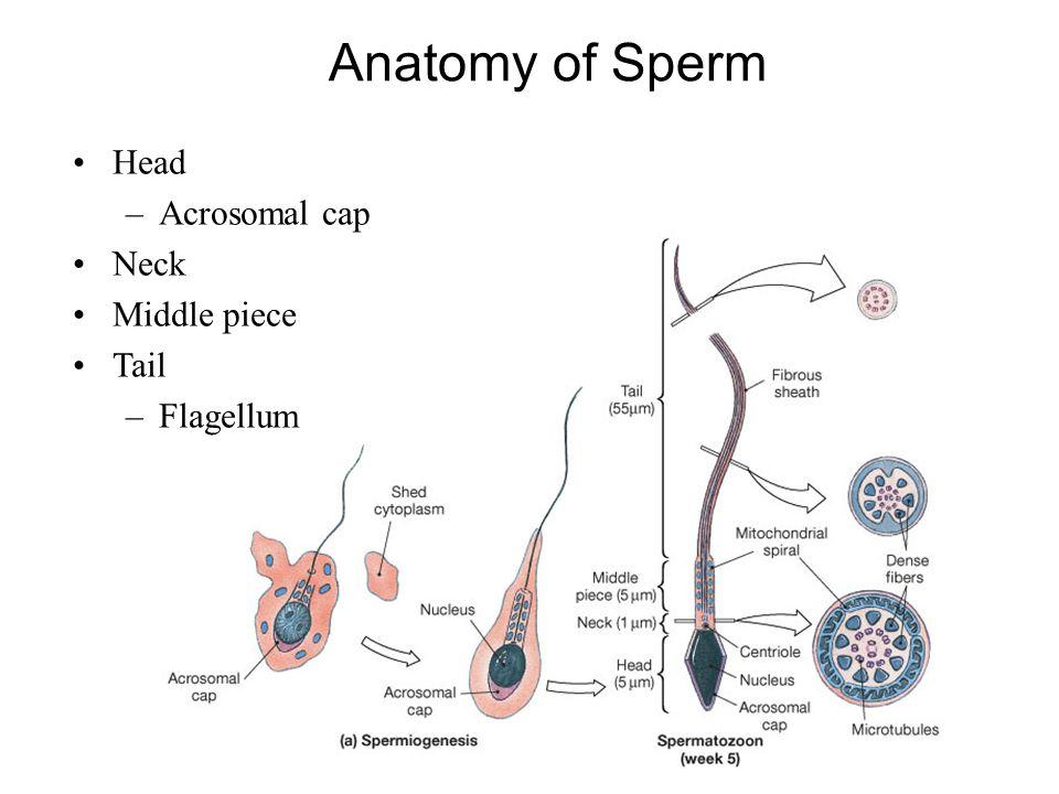 Head –Acrosomal cap Neck Middle piece Tail –Flagellum Anatomy of Sperm