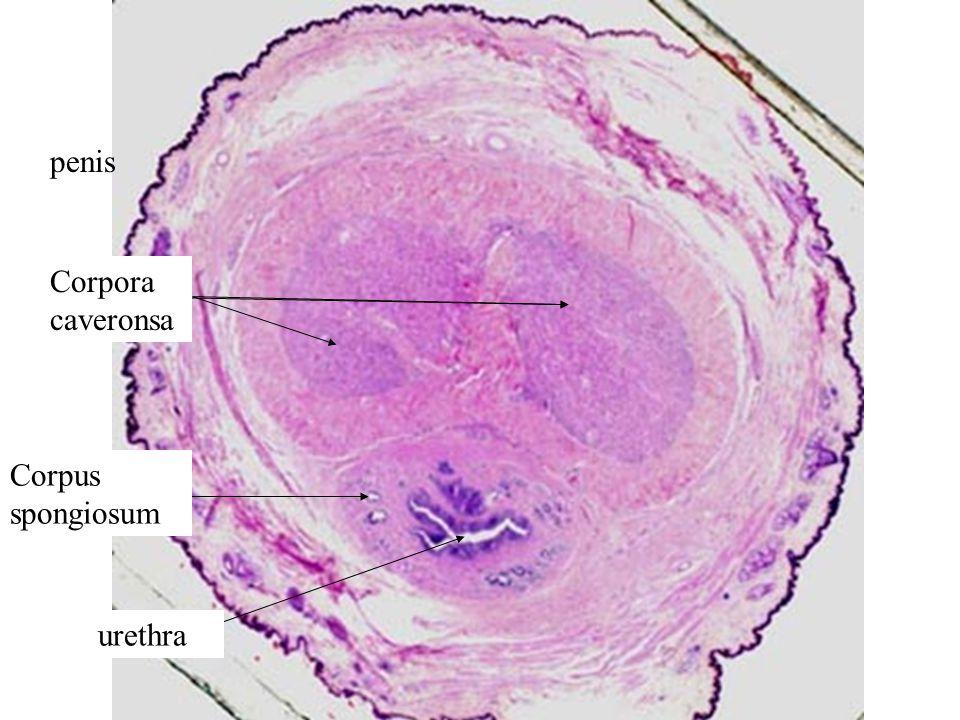 penis Corpora caveronsa Corpus spongiosum urethra
