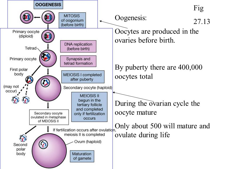 Oogenesis: Oocytes are produced in the ovaries before birth. By puberty there are 400,000 oocytes total During the ovarian cycle the oocyte mature Onl