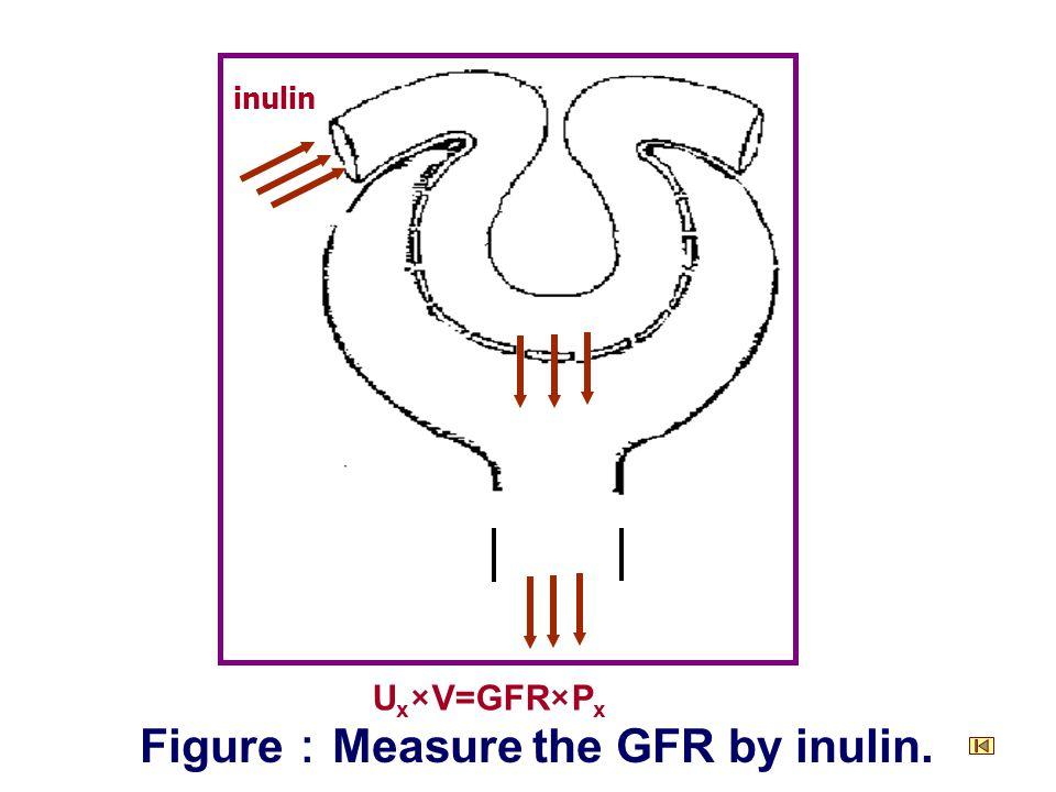 inulin Figure : Measure the GFR by inulin. U x ×V=GFR×P x