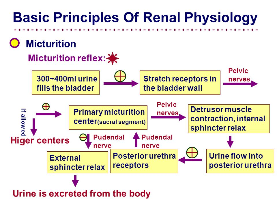 Micturition Basic Principles Of Renal Physiology Micturition reflex: 300~400ml urine fills the bladder Stretch receptors in the bladder wall Pelvic nerves Primary micturition center (sacral segment) Pelvic nerves Detrusor muscle contraction, internal sphincter relax Urine flow into posterior urethra Posterior urethra receptors Pudendal nerve External sphincter relax Urine is excreted from the body Higer centers If allowed