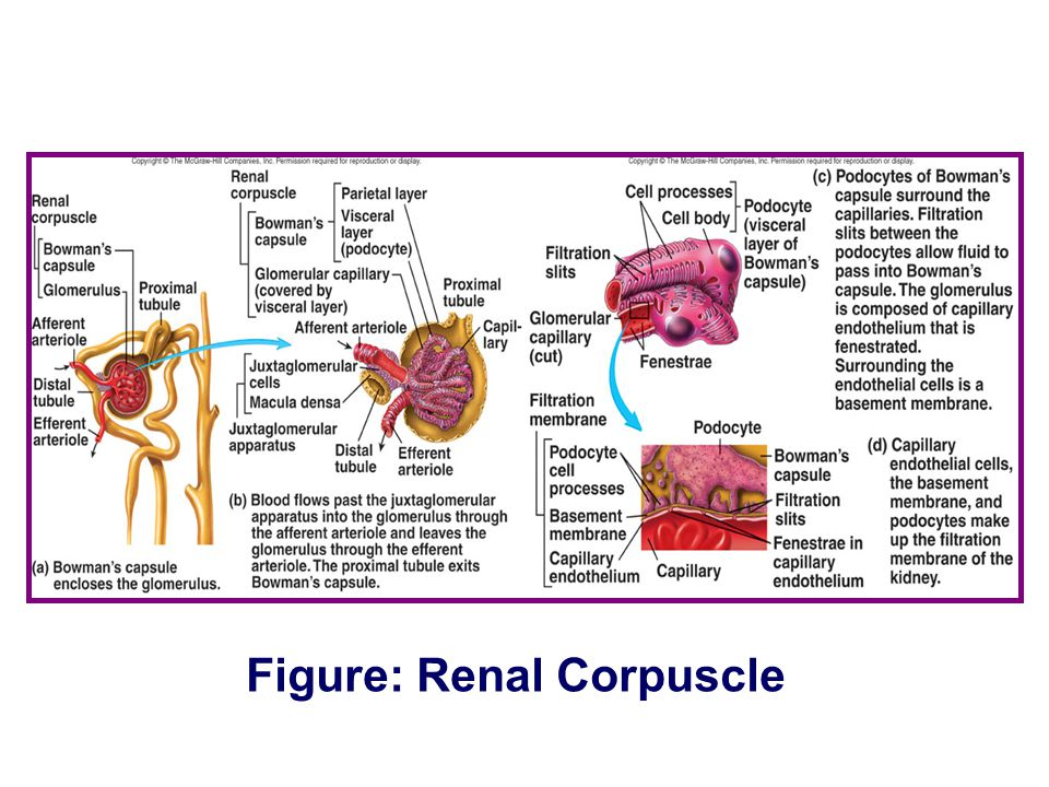 Figure: Renal Corpuscle