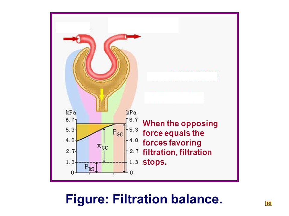 When the opposing force equals the forces favoring filtration, filtration stops.