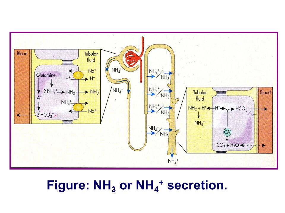 Figure: NH 3 or NH 4 + secretion.