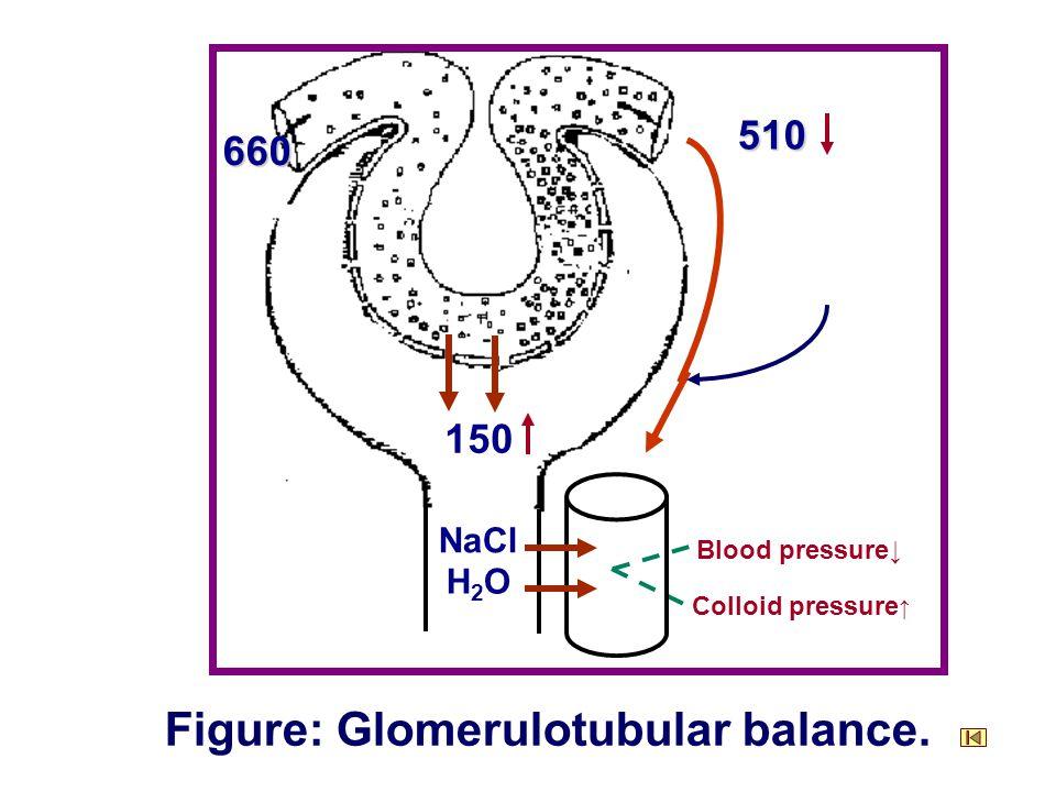 660 150 510 NaCl H2OH2O Blood pressure↓ Colloid pressure ↑ Figure: Glomerulotubular balance.