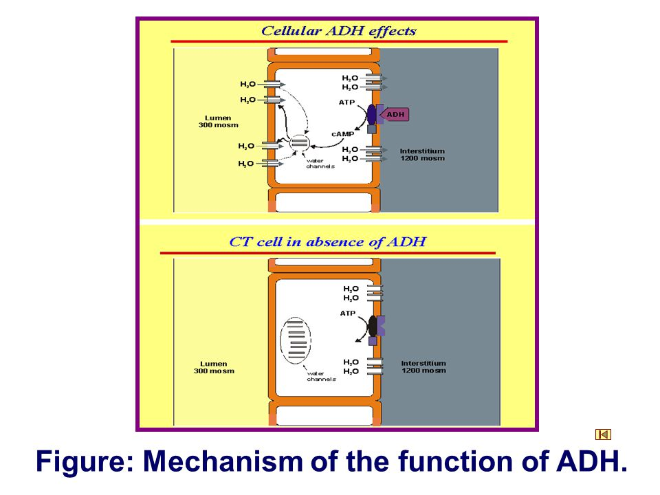 Figure: Mechanism of the function of ADH.