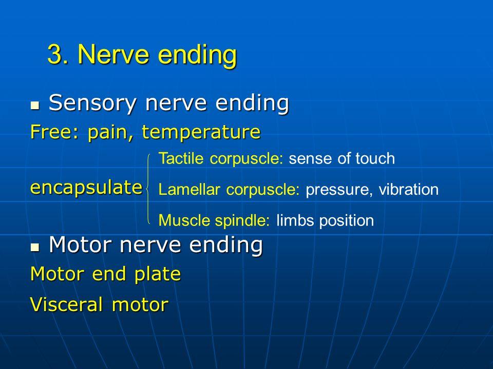 3. Nerve ending Sensory nerve ending Sensory nerve ending Free: pain, temperature encapsulate Motor nerve ending Motor nerve ending Motor end plate Vi