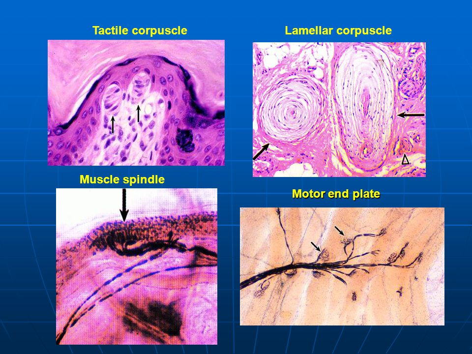 Muscle spindle Motor end plate Tactile corpuscle Lamellar corpuscle