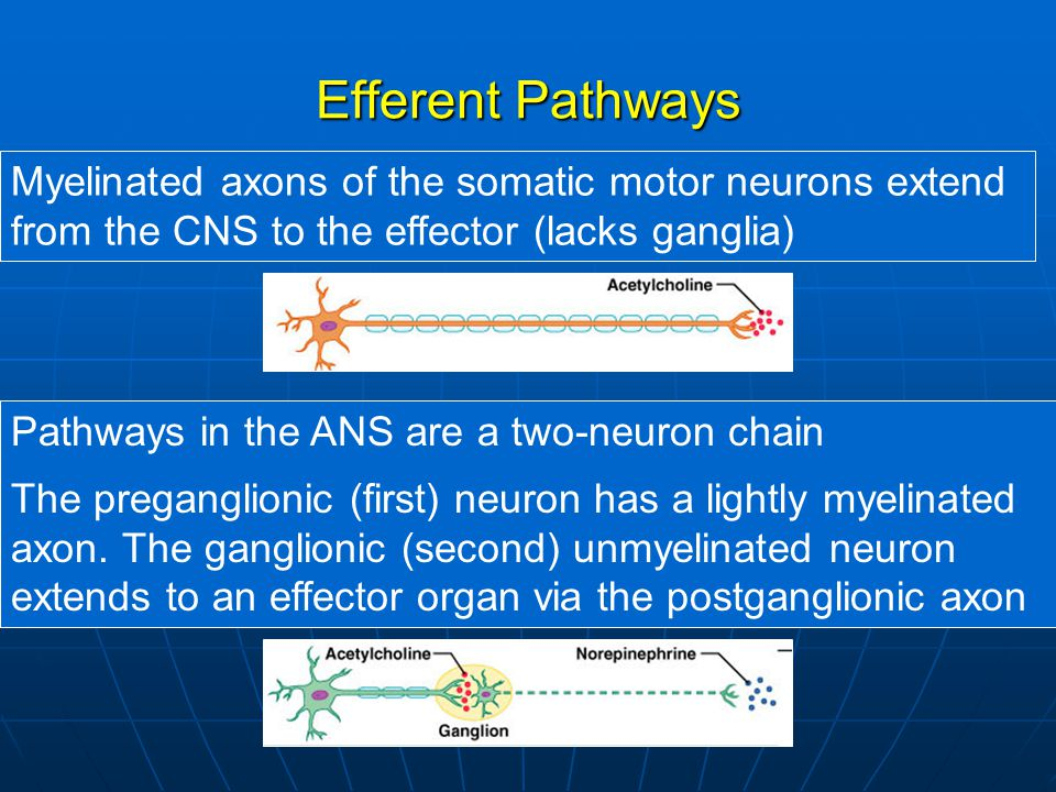 Efferent Pathways Myelinated axons of the somatic motor neurons extend from the CNS to the effector (lacks ganglia) Pathways in the ANS are a two-neur