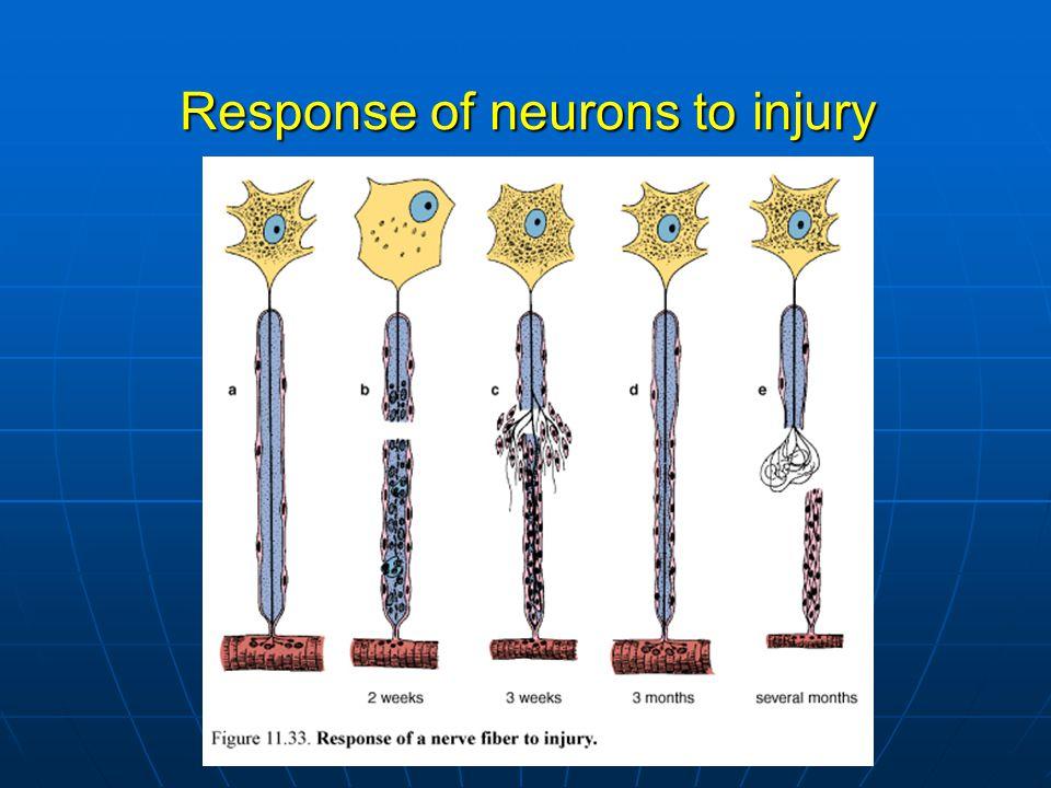 Response of neurons to injury