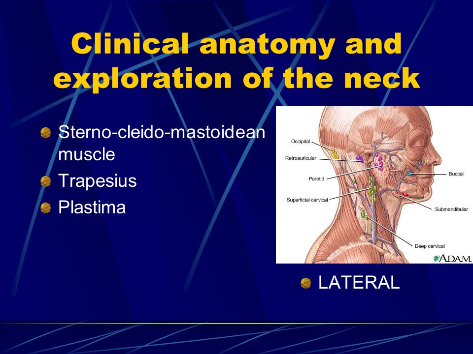 Clinical anatomy and exploration of the neck Sterno-cleido-mastoidean muscle Trapesius Plastima LATERAL