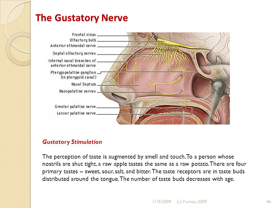 The Gustatory Nerve The Gustatory Nerve Gustatory Stimulation The perception of taste is augmented by smell and touch.