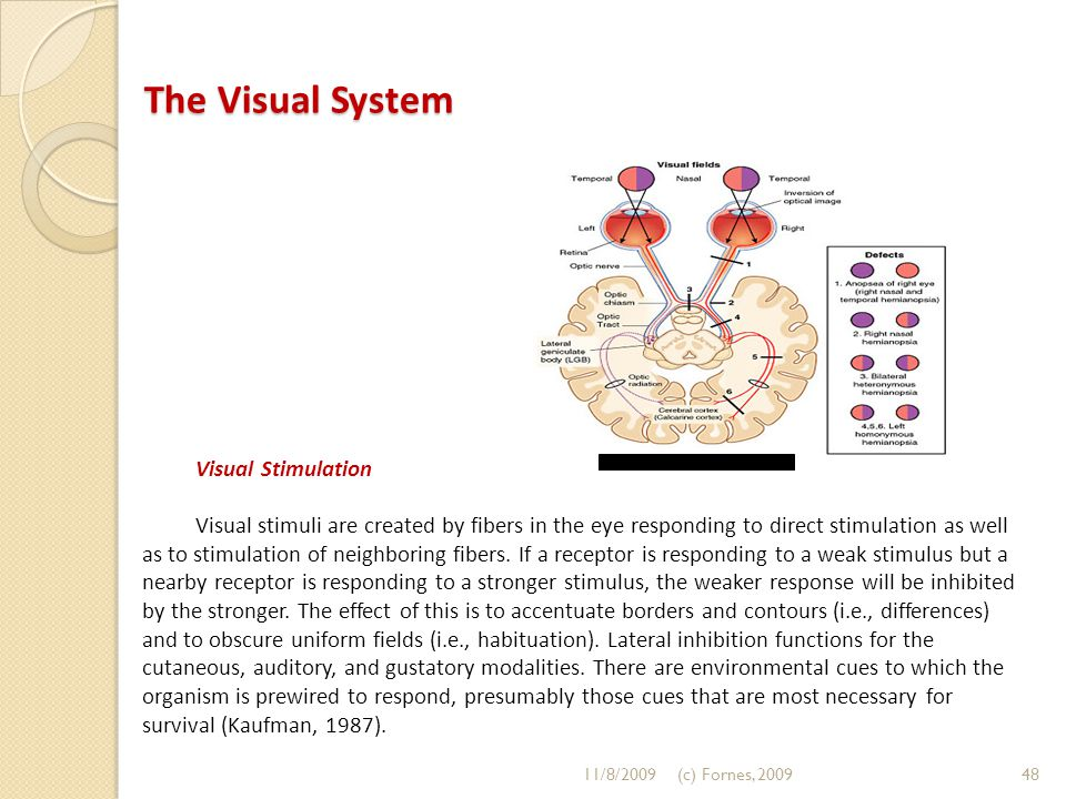The Visual System Visual Stimulation Visual stimuli are created by fibers in the eye responding to direct stimulation as well as to stimulation of neighboring fibers.