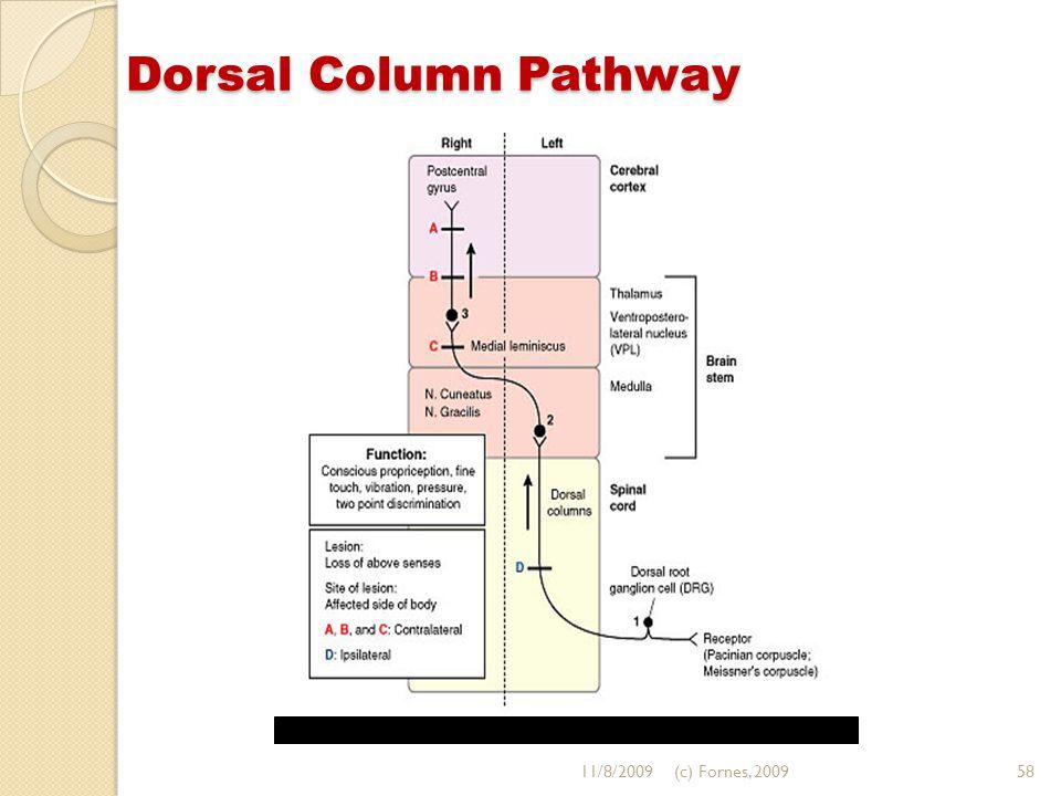 Dorsal Column Pathway 11/8/200958(c) Fornes, 2009