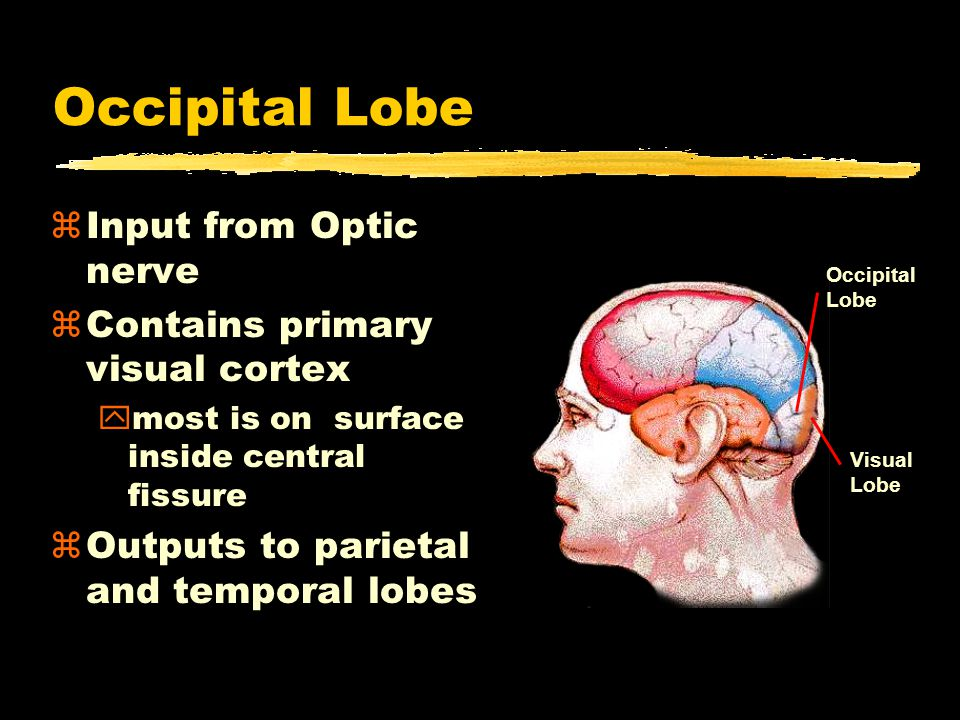 Occipital Lobe zInput from Optic nerve zContains primary visual cortex ymost is on surface inside central fissure zOutputs to parietal and temporal lobes Occipital Lobe Visual Lobe