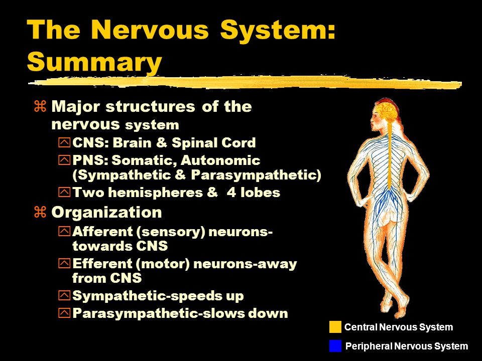 The Nervous System: Summary zMajor structures of the nervous system yCNS: Brain & Spinal Cord yPNS: Somatic, Autonomic (Sympathetic & Parasympathetic) yTwo hemispheres & 4 lobes zOrganization yAfferent (sensory) neurons- towards CNS yEfferent (motor) neurons-away from CNS ySympathetic-speeds up yParasympathetic-slows down Central Nervous System Peripheral Nervous System