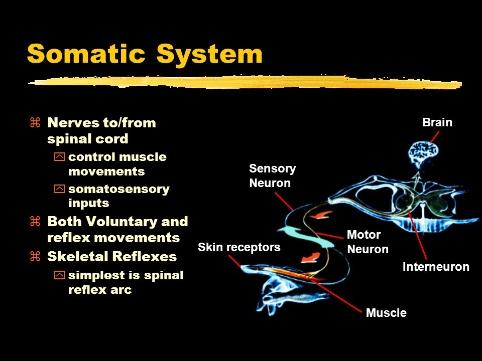 Somatic System zNerves to/from spinal cord ycontrol muscle movements ysomatosensory inputs zBoth Voluntary and reflex movements zSkeletal Reflexes ysimplest is spinal reflex arc Muscle Motor Neuron Interneuron Skin receptors Sensory Neuron Brain