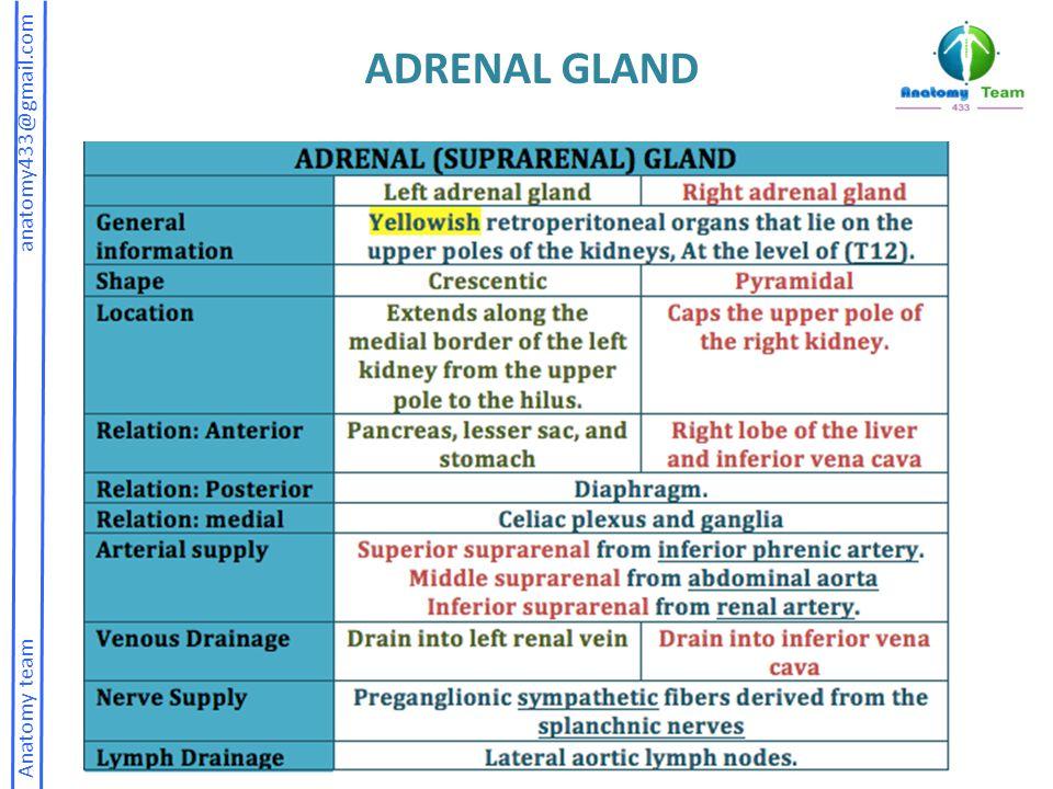 Anatomy team anatomy433@gmail.com ADRENAL GLAND