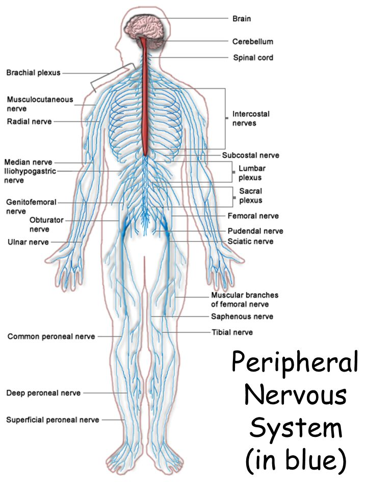 Peripheral Nervous System (in blue)
