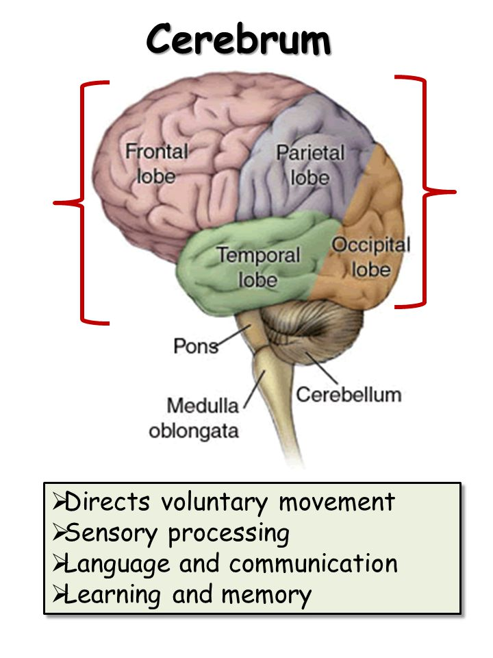 Cerebrum  Directs voluntary movement  Sensory processing  Language and communication  Learning and memory  Directs voluntary movement  Sensory p