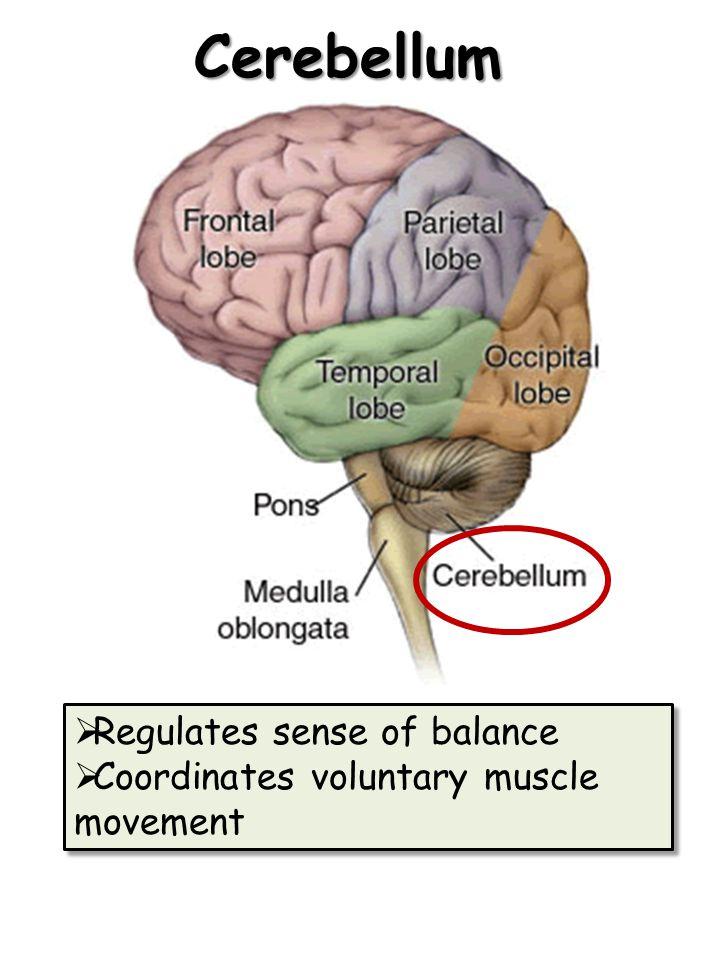 Cerebellum  Regulates sense of balance  Coordinates voluntary muscle movement  Regulates sense of balance  Coordinates voluntary muscle movement