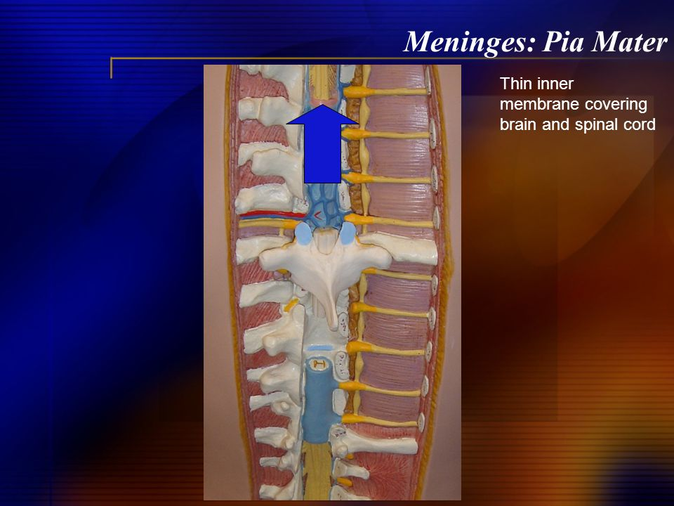 Meninges: Pia Mater Thin inner membrane covering brain and spinal cord